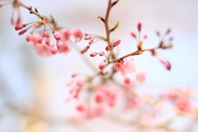 開花予想を使って桜の見頃をチェック~2017
