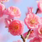 堺市の荒山公園で梅が見ごろです!